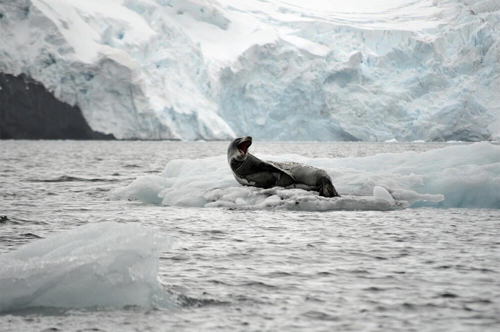 léopard des mers sur la banquise